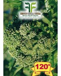 Cima di Rapa o Broccoletto 120° Marzatica sel. Murge